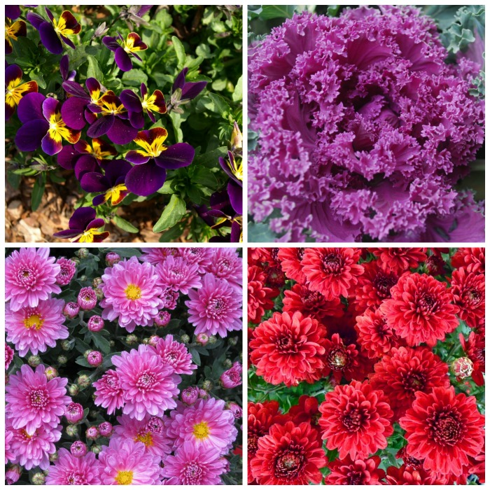 Plants that like the cold temps are pansies, mums, asters and ornamental kale