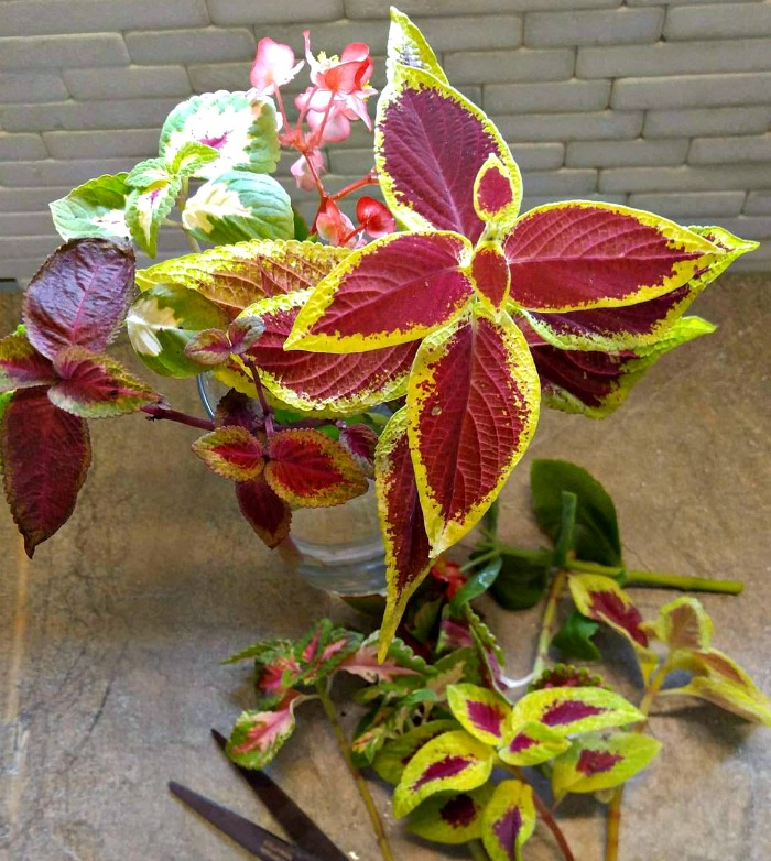 Cuttings of coleus