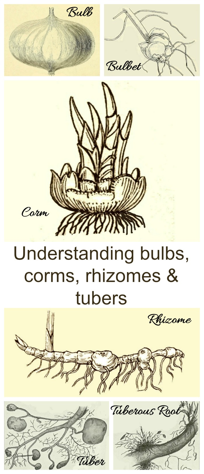 This guide to understanding flower bulb types has lots of useful information that explains the differences between bulbs corms rhizomes tubers as well as bulbets and tuberrous roots #flowerbulbs #understandingbulbs