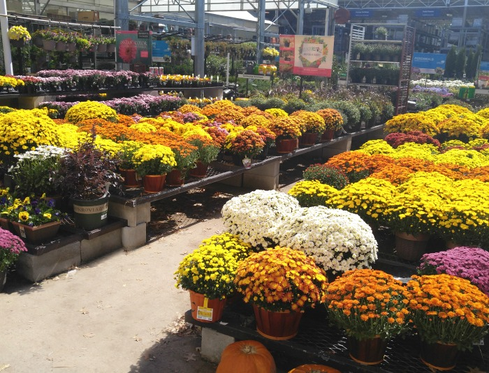 Mums in the garden center in full bloom