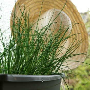 Growing Fresh Chives