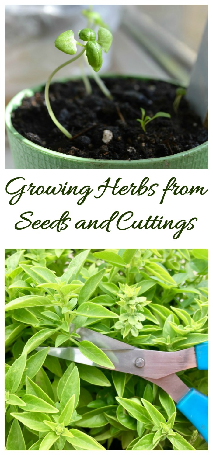 Fresh herbs grow easily from seeds and cuttings. Click to check out my herb growing guide.