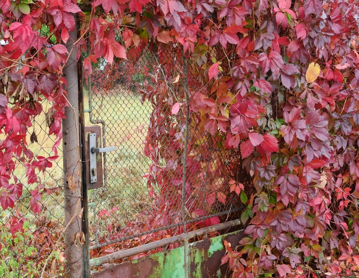 Red leaves near a rusty gate