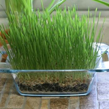 Wheatgrass growing in soil in a baking dish.