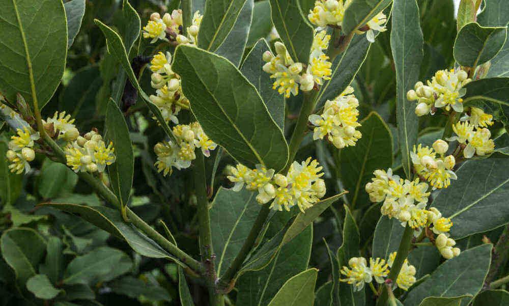 Flowers of bay laurel