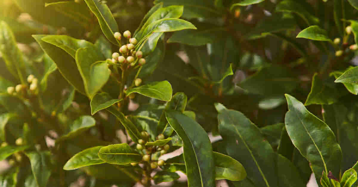 Bay leaf plant with berries.