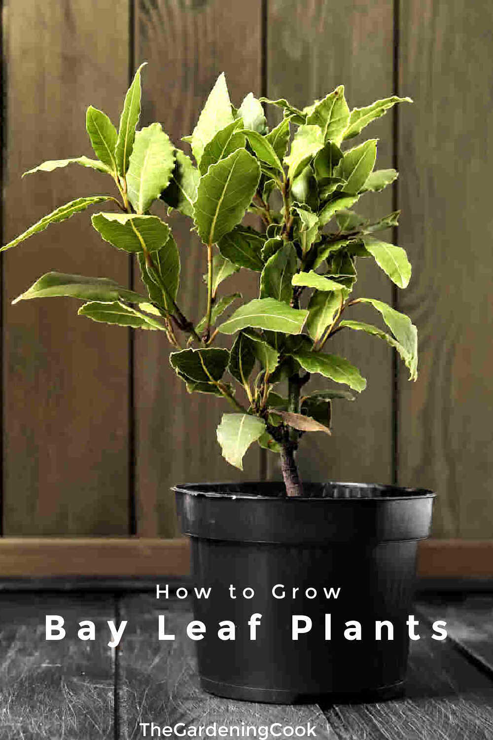 Bay laurel grown in a pot with words How to Grow Bay Leaf Plants.