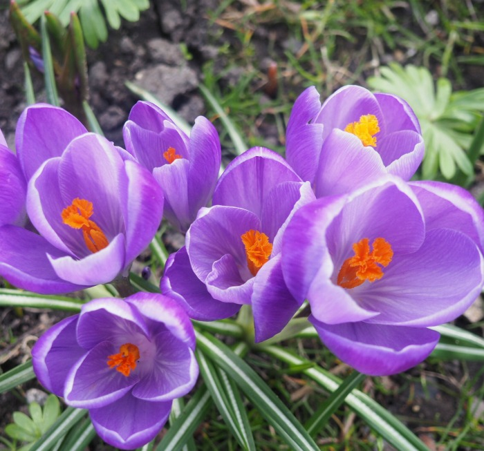 Purple and orange crocuses