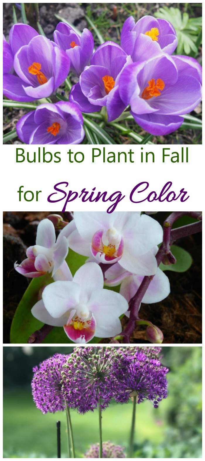 This list of bulbs to plant in fall will ensure that next spring starts with a splash of bright color #fallplantedbulbs #springbloomingbulbs