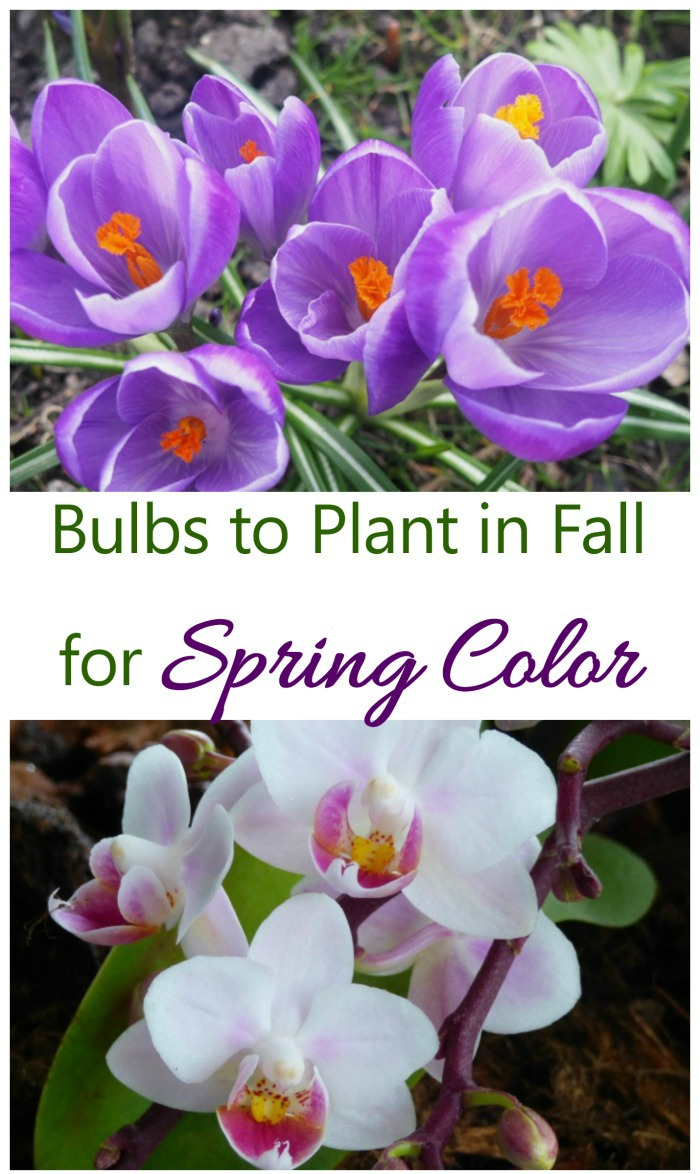 Plant bulbs in the fall to give a strong pop of color for early and late spring gardens.