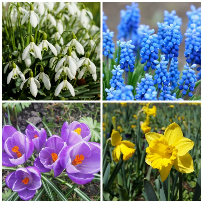 Plant bulbs in fall for spring blooms that will give a pop of color before perennials start growing