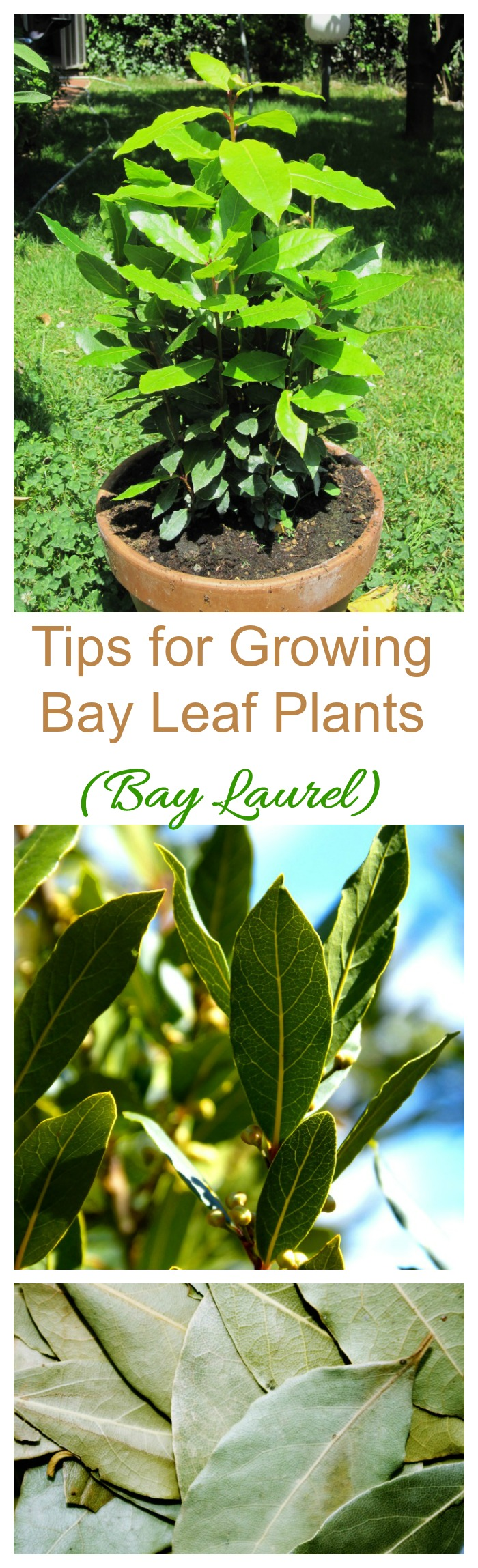 The bay leaf plant is also known as bay laurel. It can be grown in containers or as a tree or shrub in warmer zones #bayleafplalnts #baylaurel