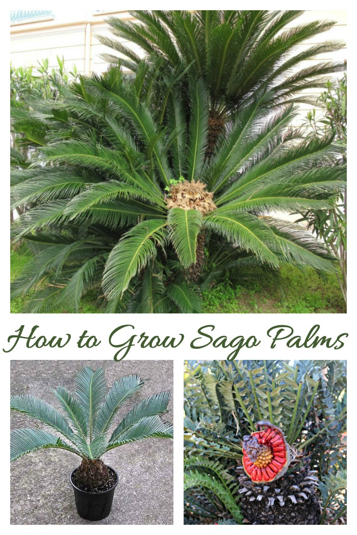 Sago palms are cycads which can grow outdoors in warm climates and indoors as houseplants in colder zones.