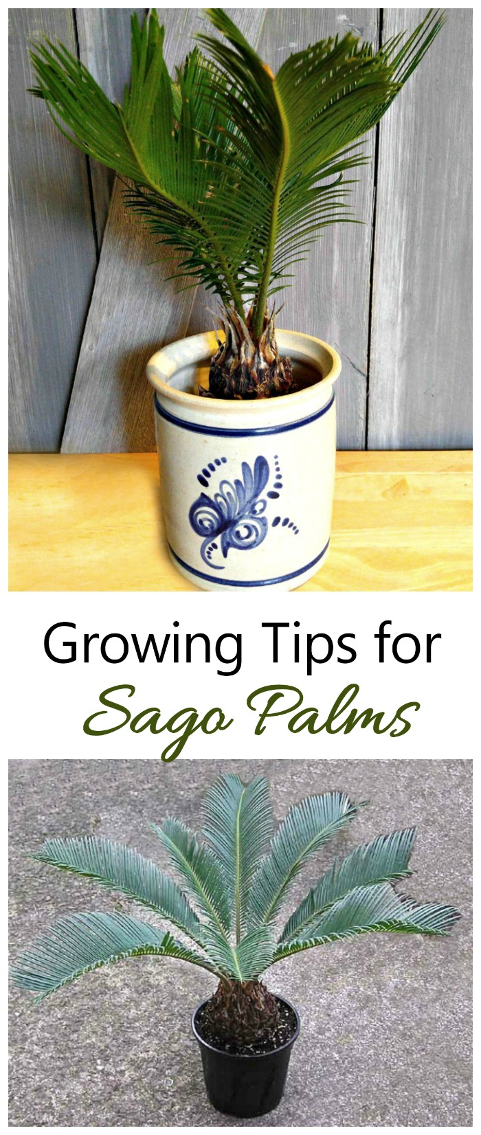 Growing sago palms is great for beginning indoor plant gardeners. #sagopalms