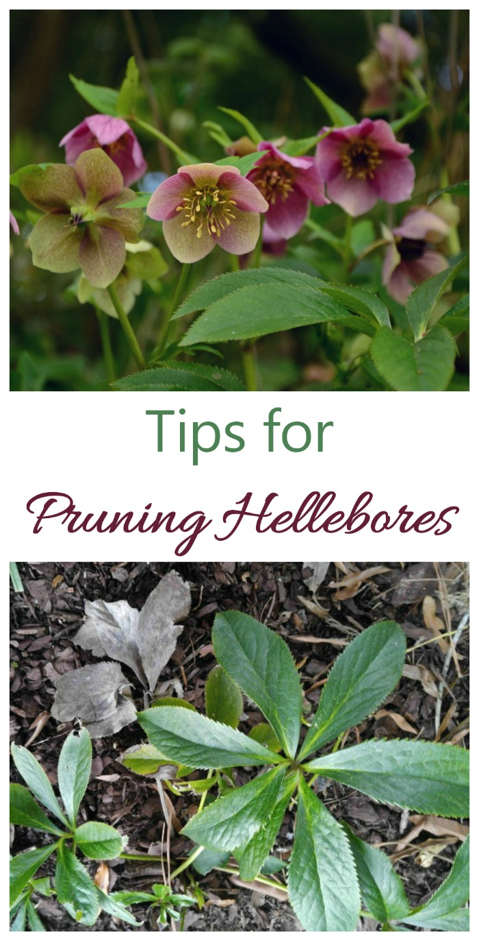 These tips for pruning hellebores will have your plant looking great all year long #pruninghellebores #helleborepruningtips