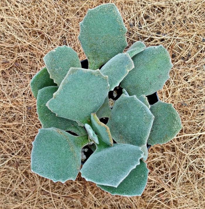 Kalanchoe Millioti succulent