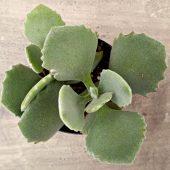 Kalanchoe millioti plant