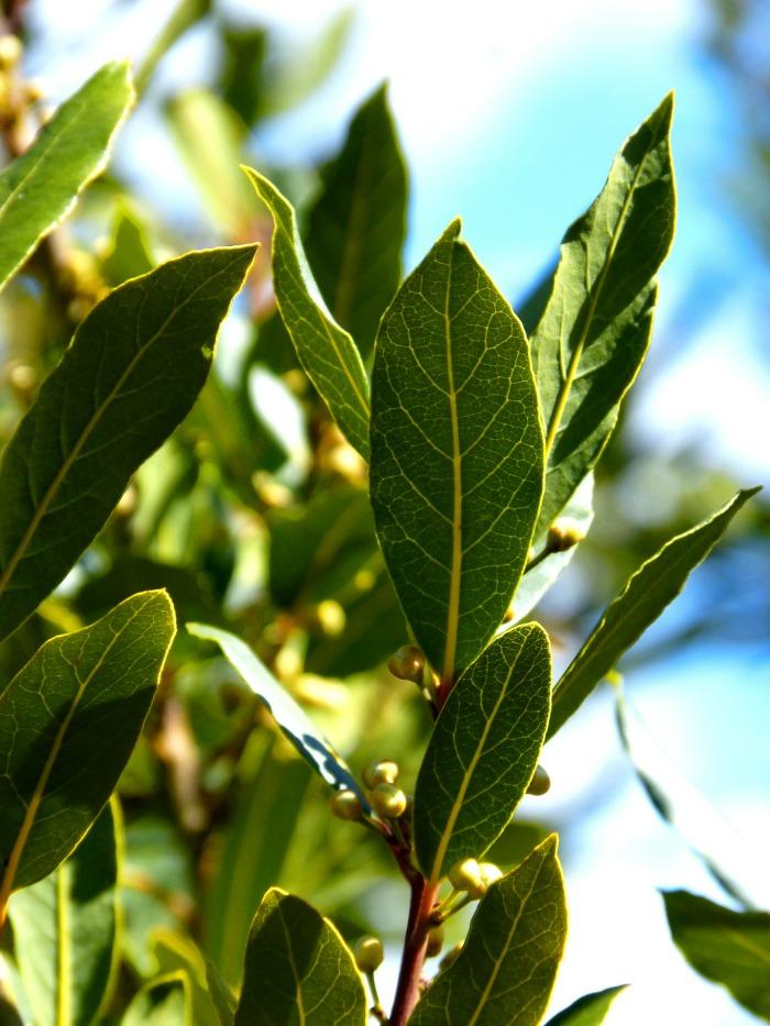 Bay leaf flower buds.