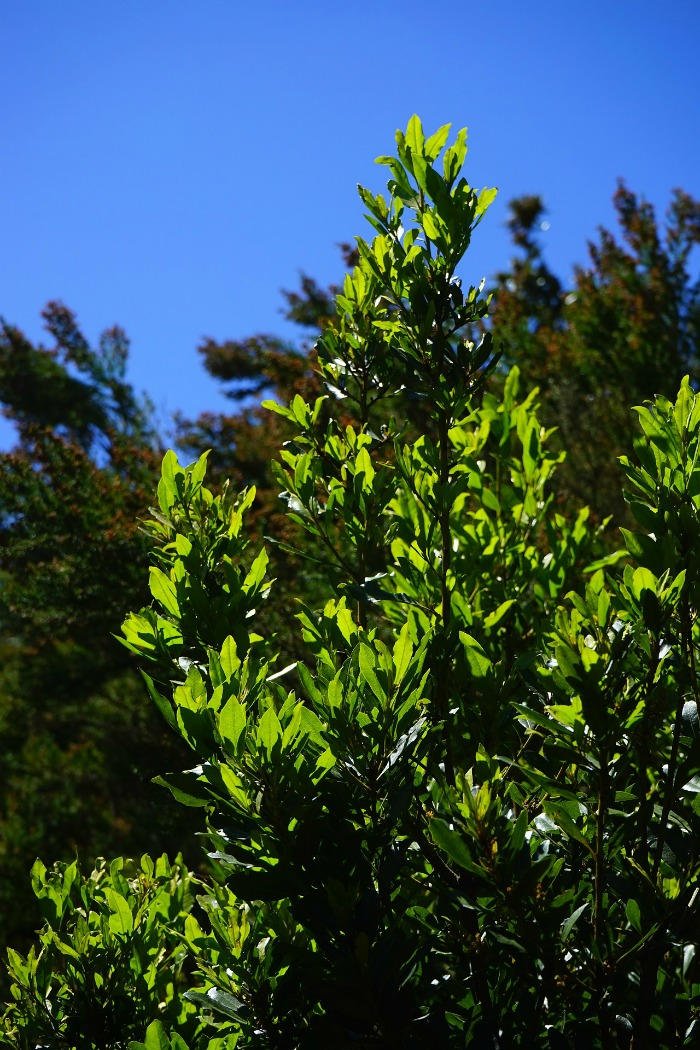 Bay Leaf plants can grow into 60 feet tall trees.