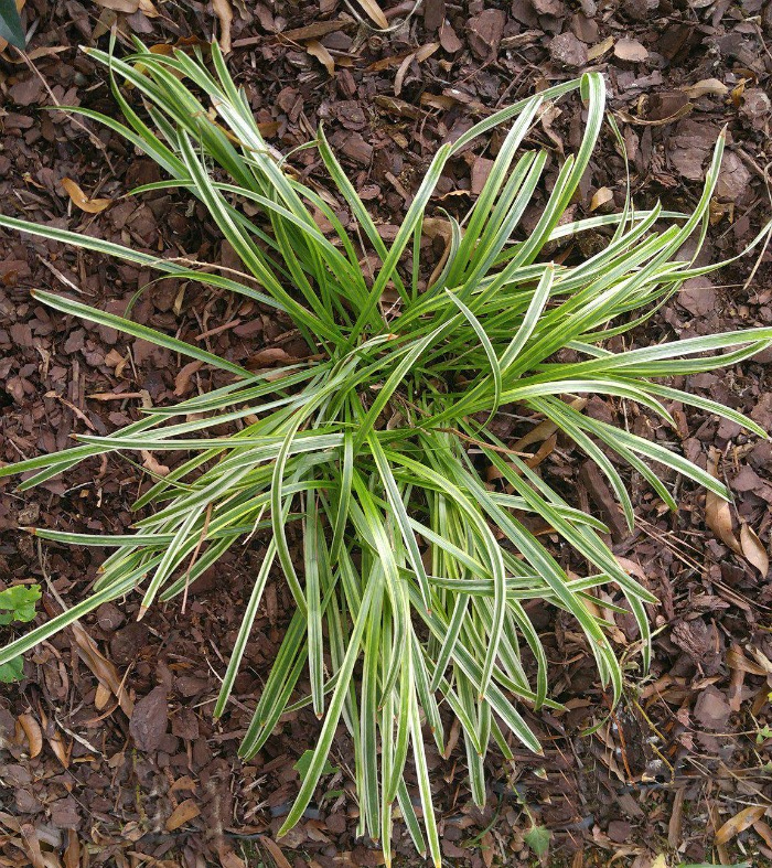 Liriope Muscari Variegata before flowering