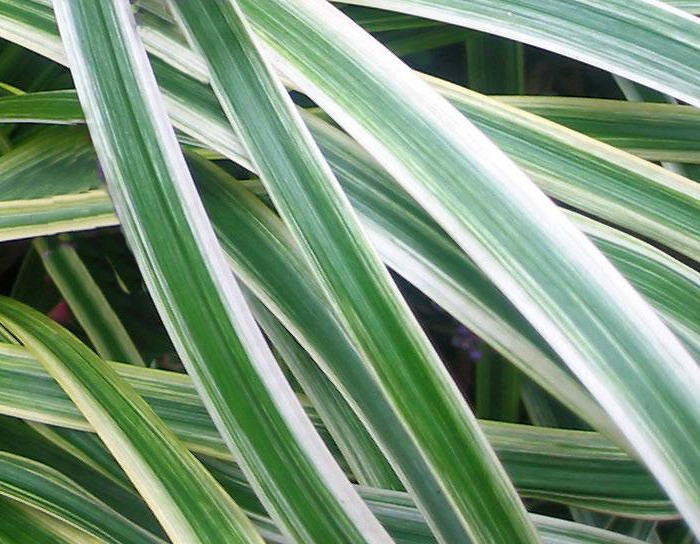 Leaves of the Liriope Muscari Variegata plant