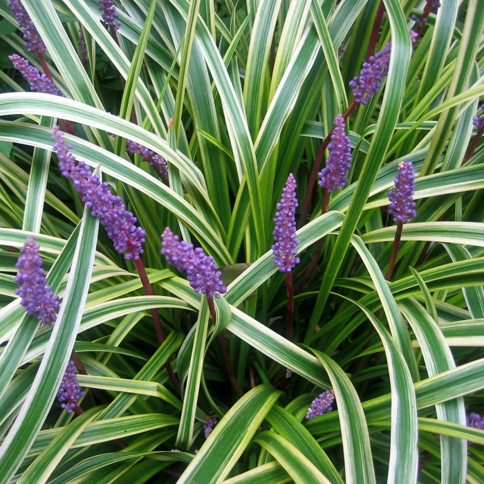 Liriope Muscari Variegata Growing Variegated Lilyturf