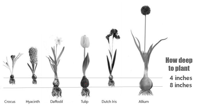 General guide to planting depth of bulbs