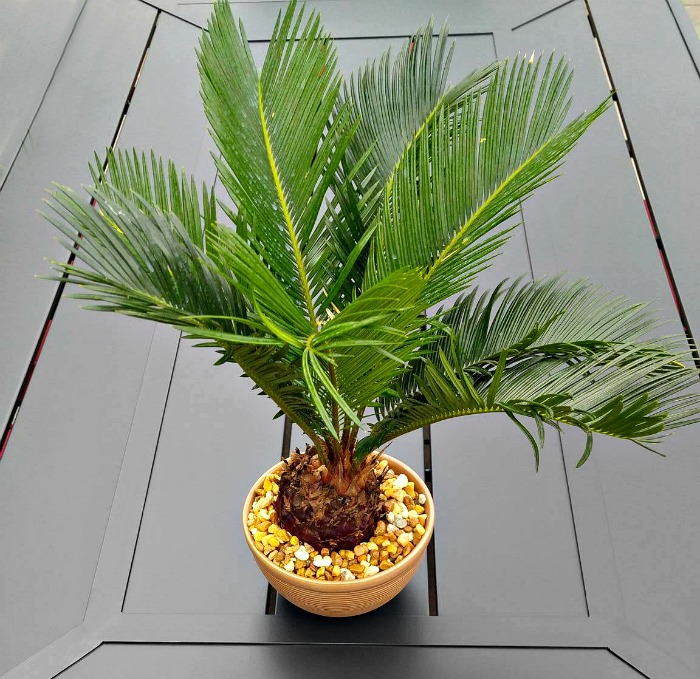 Growing Sago Palms - How to Grow a Sago Palm Tree on