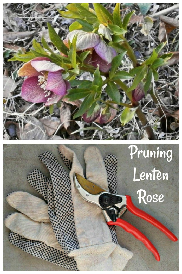 Lenten Rose Pruning