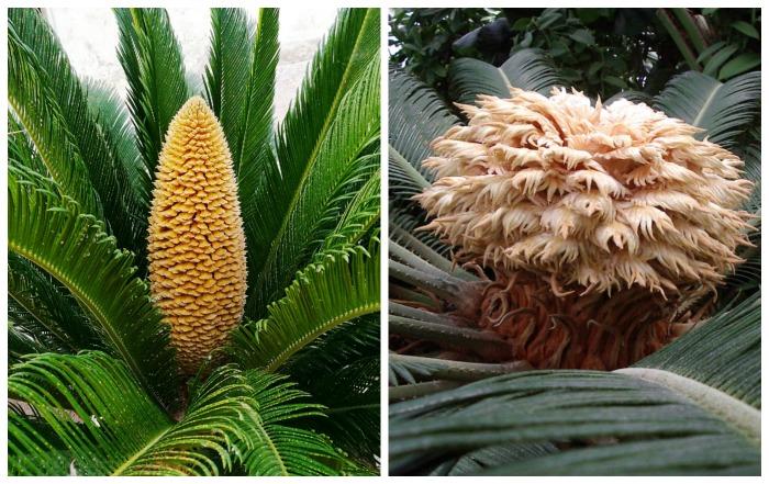 Sago make and female flowers