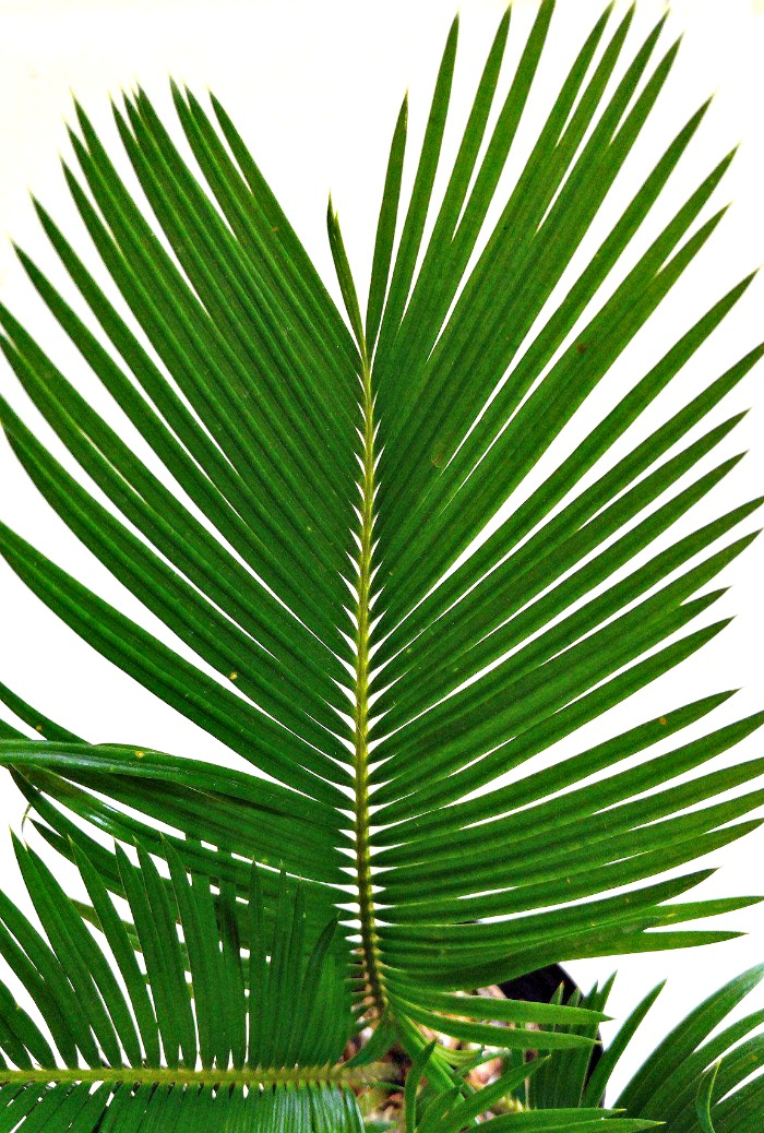 the leaves of a sago palm are very sharp