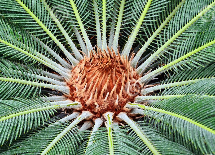 Center of a sago palm