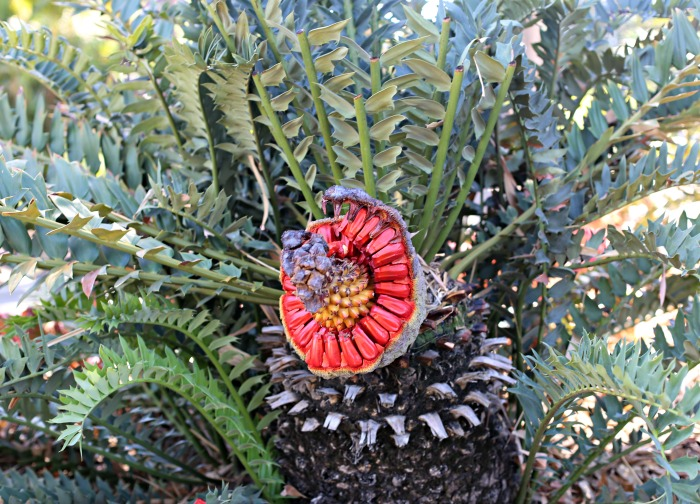Sago palm with seeds