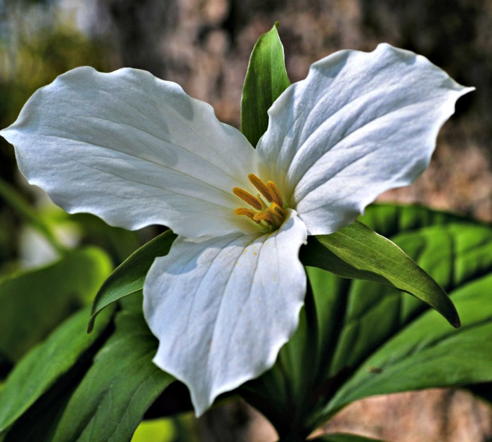Trillium is disappearing from the wild.