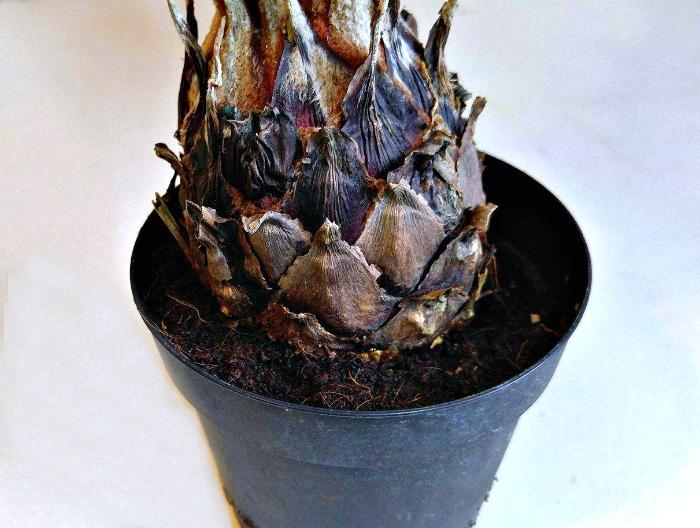 base of sago plant
