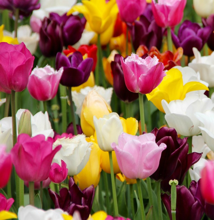Sunny spring tulips are popular spring blooming bulbs