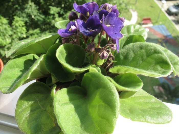 African violet with purple flowers