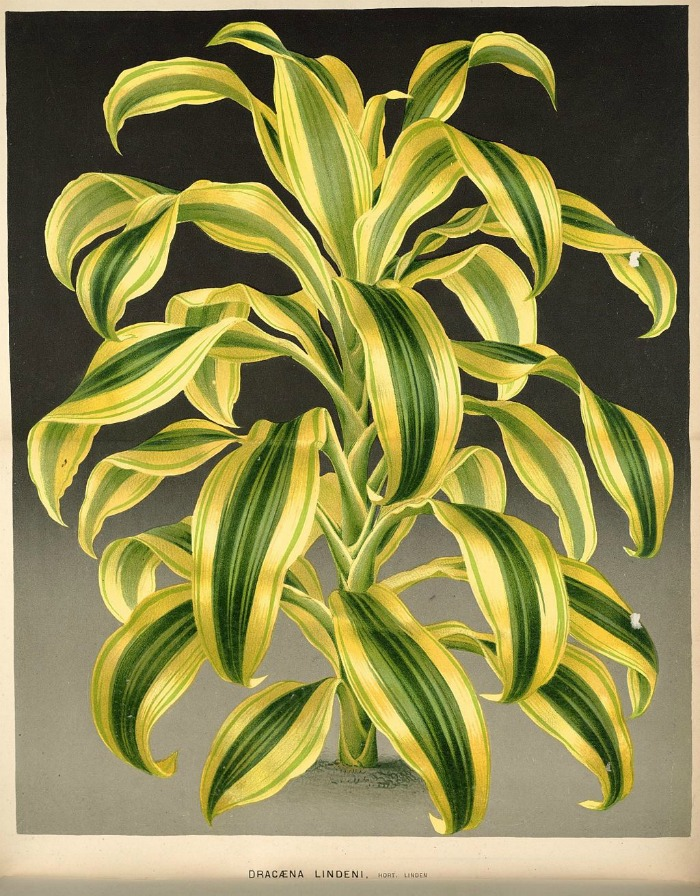 Lithograph of dracaena fragrans plant from 1880