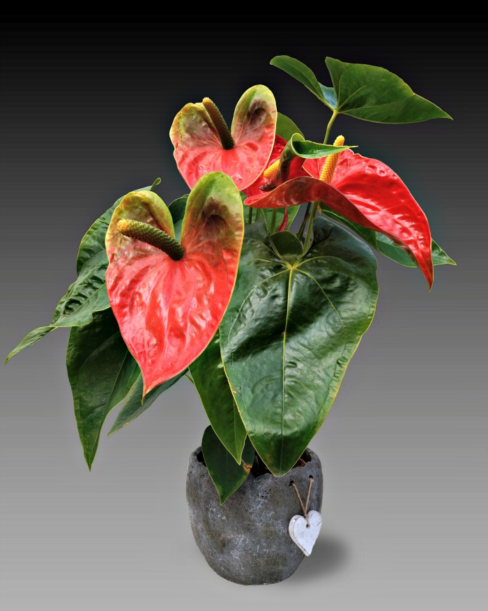 Anthurium is a beautiful flowering indoor plant.