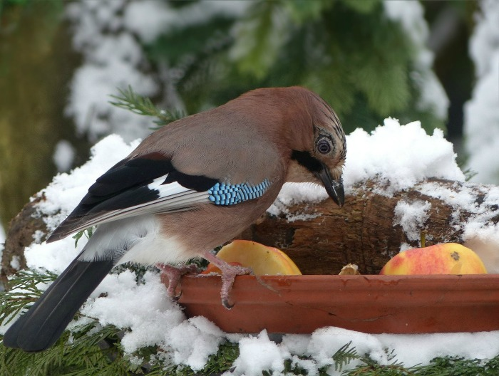 Put fruit out to feed birds