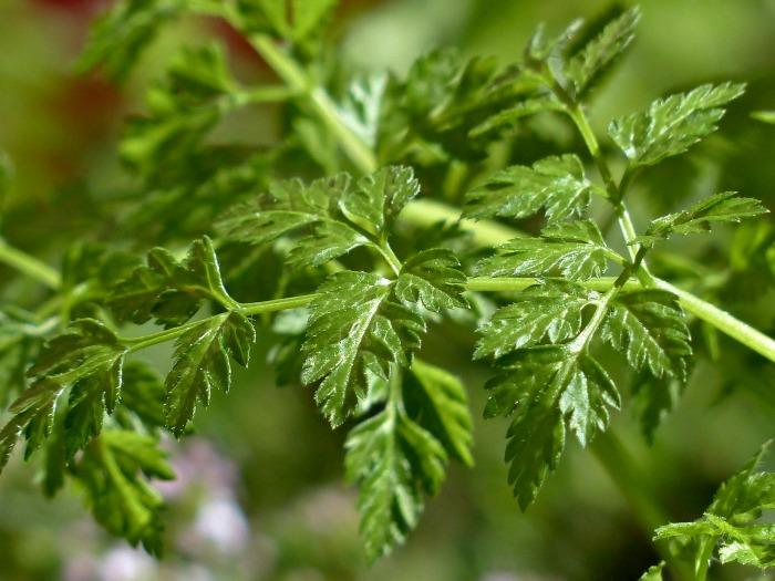 Chervil leaves