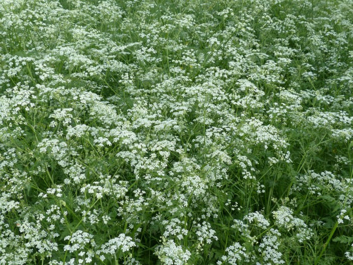Wild chervil is called cow parsley.