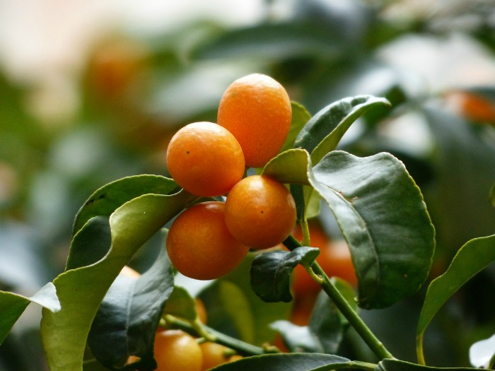 Dwarf citrus plants will flower and then bear fruit indoors.