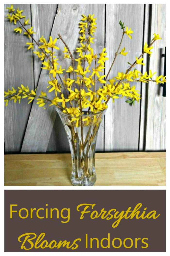 Get a jump start on spring by forcing forsythia bushes indoors. #forcingforsythia #forceshrubs