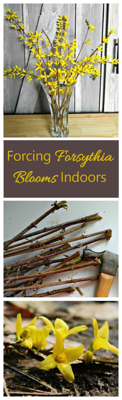 Get a jump start on spring by forcing forsythia indoors. #forcingforsythia #forceshrubs