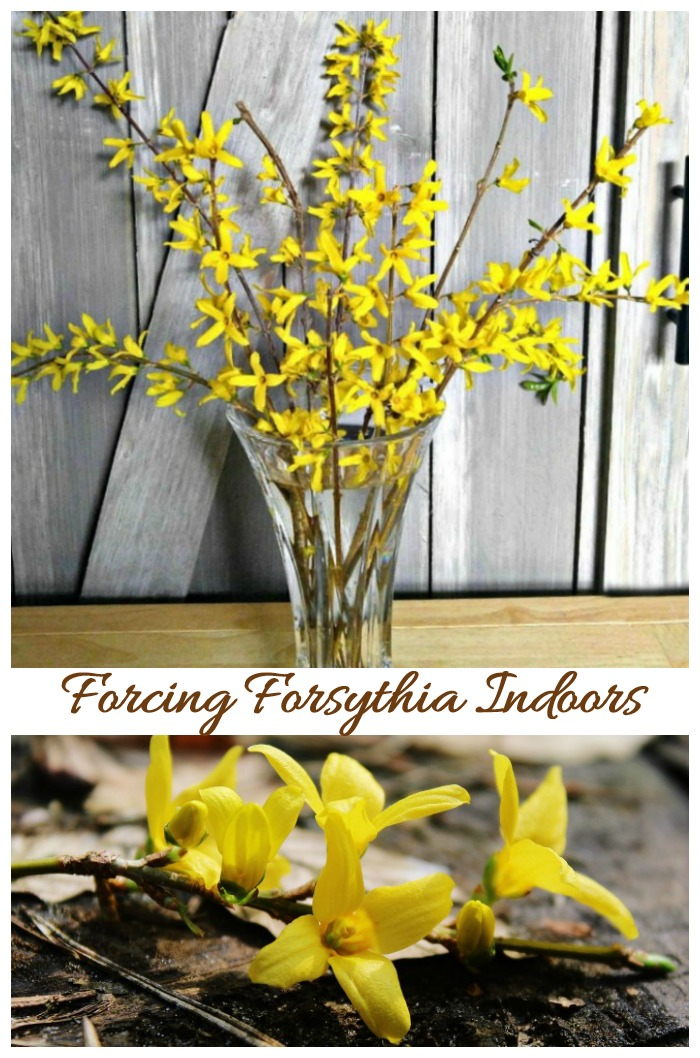 Forcing forsythia branches indoors is an easy project that lets you get a jump start on spring.