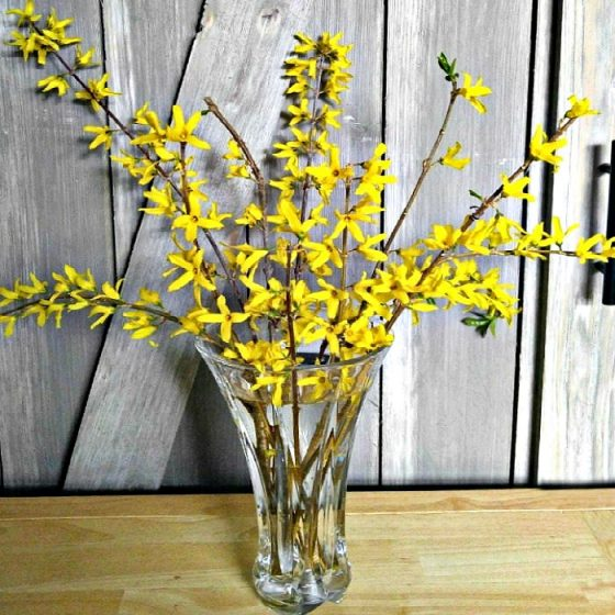 Vase of forsythia that has been forced indoors