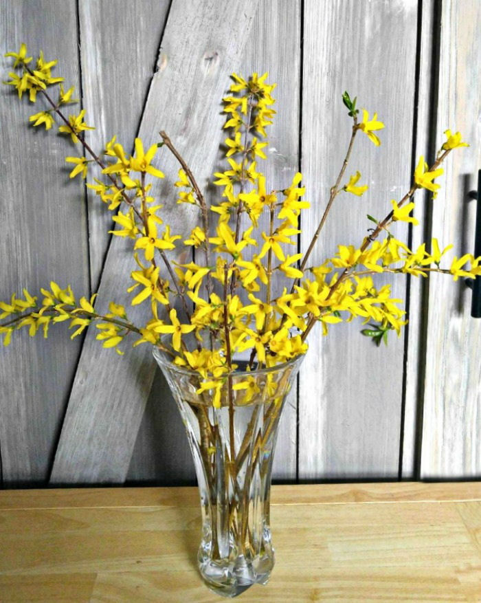 It's easy to force forsythia blooms indoors
