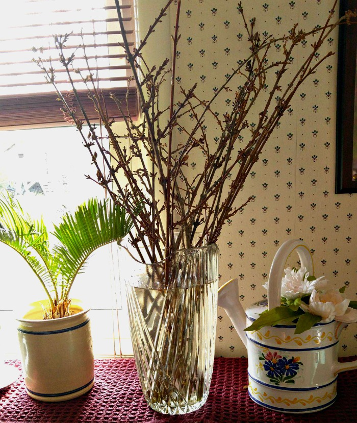 forsythia branches in a vase of water