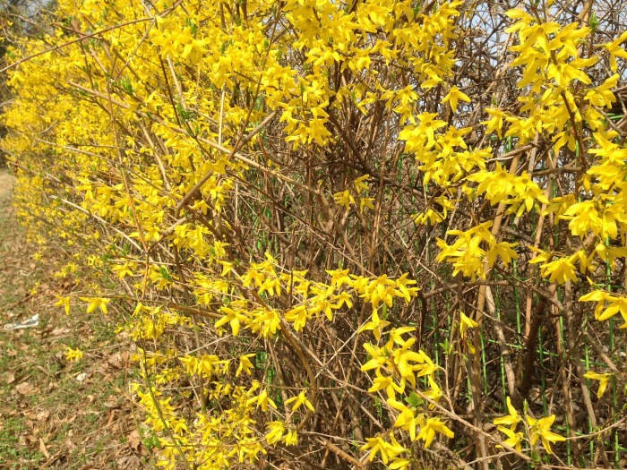 This overgrown forsythia needs pruning.